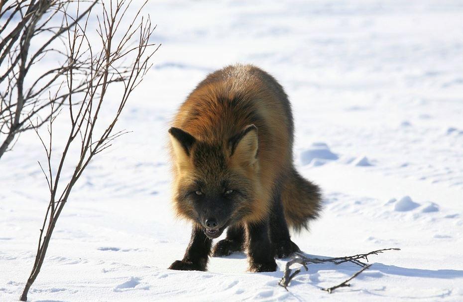 Москва и Подмосковье испытывают нашествие лис