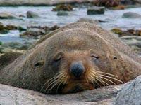 У каспийского побережья найдены сотни мертвых тюленей