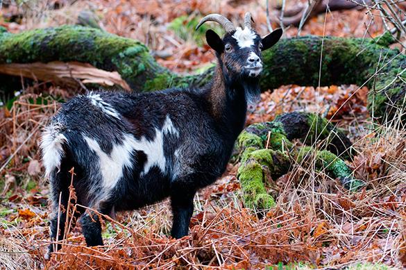Индийского козла арестовали за поедание чужой травы