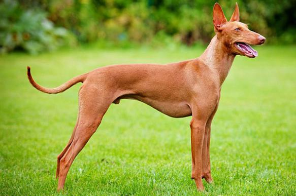 Фараонова собака: история породы, характер и уход. 400115.jpeg