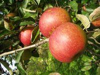Польского политика подвели забродившие яблоки