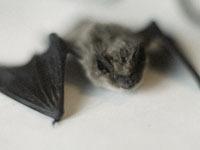 Британский город строит мост для летучих мышей. bats