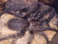 Ядовитые пауки каракурты атакуют Астраханскую область