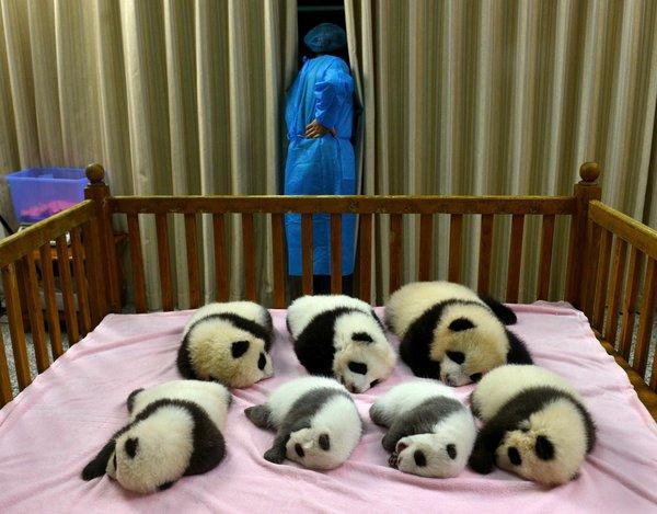 В Китае растет популяция больших панд. 313120.jpeg