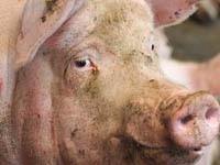 Свинья стала причиной 10-километровой пробки. pig