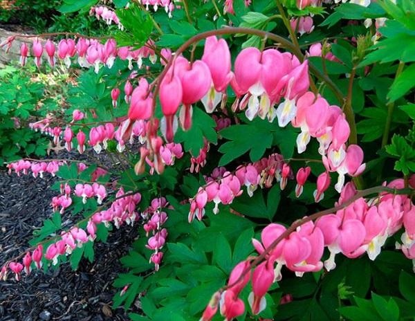 Садовые и комнатные тенелюбивые цветы. 404132.jpeg