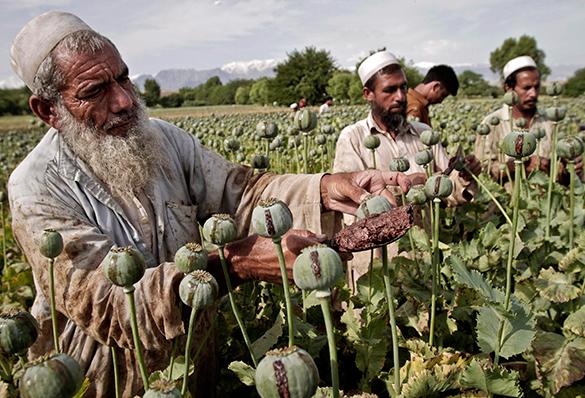 США вторглись в Афганистан, чтобы помешать талибам уничтожать плантации опиума?. опиум, плантации