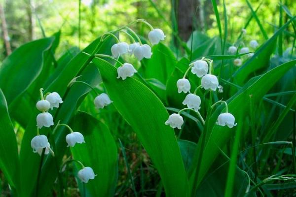 Садовые и комнатные тенелюбивые цветы. 404134.jpeg