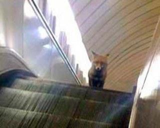 В столичном метрополитене прокатилась лиса. 394139.jpeg
