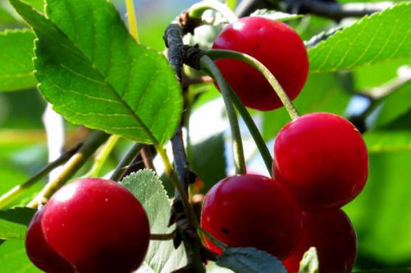 Подготовка вишни к зимним морозам. 395140.jpeg
