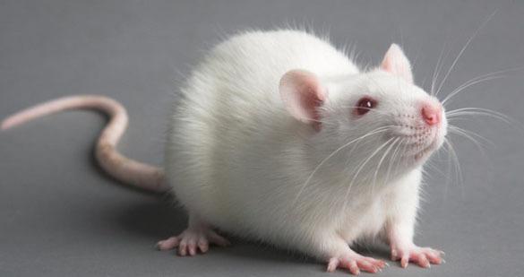 Ученые: мыши из пробирки помогут лечить бесплодие. 377147.jpeg