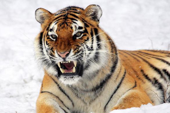 Войска на Дальнем Востоке предупредили о тигре-хищнике. Войска на Дальнем Востоке предупредили о тигре-хищнике