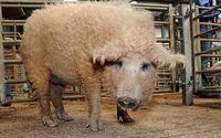 Пушистую свинью продали на британском аукционе
