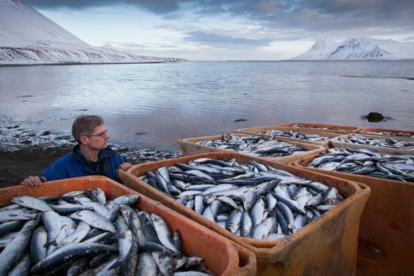 Куда плывет дальневосточный улов. Россиянам достается две трети от дальневосточного улова