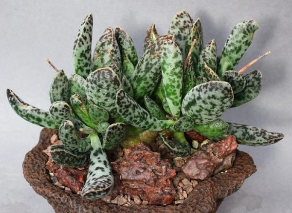 Пять необычных суккулентов для вашего зимнего сада. 404157.jpeg