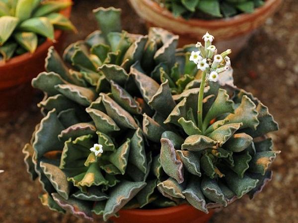Пять необычных суккулентов для вашего зимнего сада. 404159.jpeg