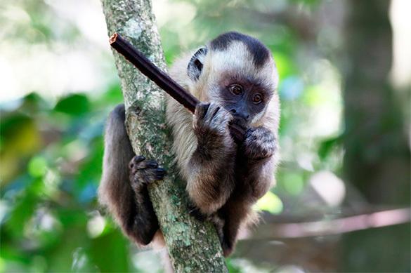 Ученые нашли обезьян, умеющих изготавливать каменные орудия труд