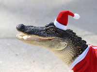 Крокодилов в Луизиане нарядили в Санта-Клаусов. 277164.jpeg