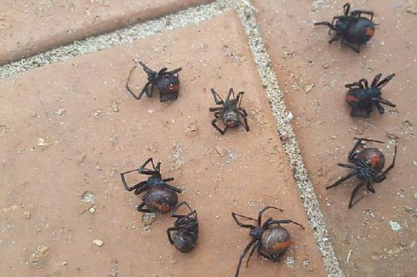 В Австралии выпал дождь из ядовитых пауков. 380170.jpeg