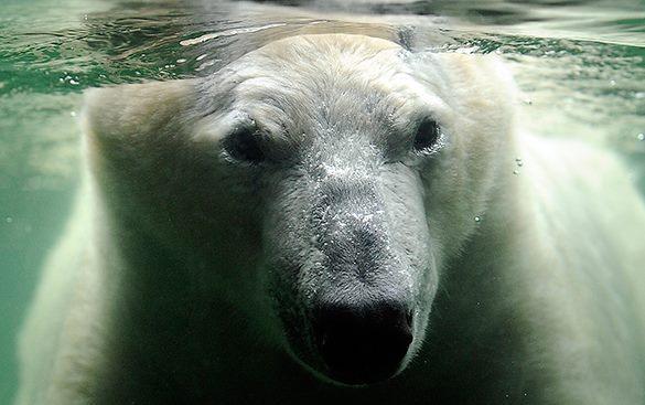 Полярные медведи на Аляске начали лысеть. Белый медведь в море
