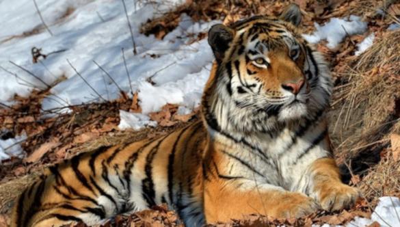 Ученых удивило странное поведение амурского тигра. 394173.jpeg