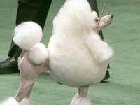 На службу в японскую полицию приняты той-пудели. poodle