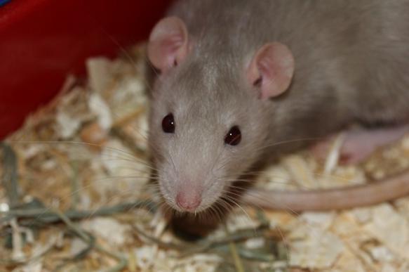 Не полюбить невозможно: пять фактов о крысах. 396177.jpeg