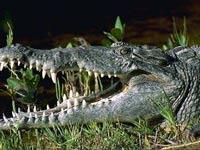 Безработный выбросил на улицу домашнего крокодила