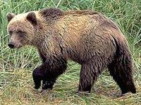 Камчатский медведь влез в палатку с туристами