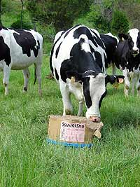 Корова с кличкой дает больше молока