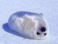 Звезды России встанут на защиту детенышей тюленей