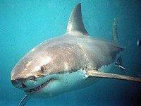 Туристов в Пхукете напугала рифовая акула. 277185.jpeg