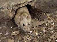 У крысят от родителей-наркоманов