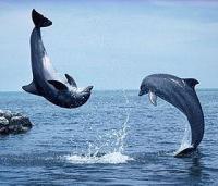 Спасатель-дельфин действовал в лучших традициях голливудского