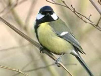 Городские и сельские птицы перестали понимать друг друга
