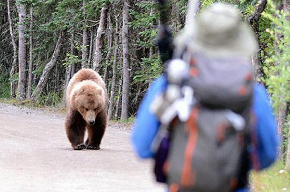 В Вологодской области из-за неурожая ягод голодные медведи стали опасны для людей. 391191.jpeg