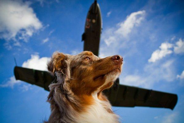 Как собаки перелетают границу. Собака и самолет