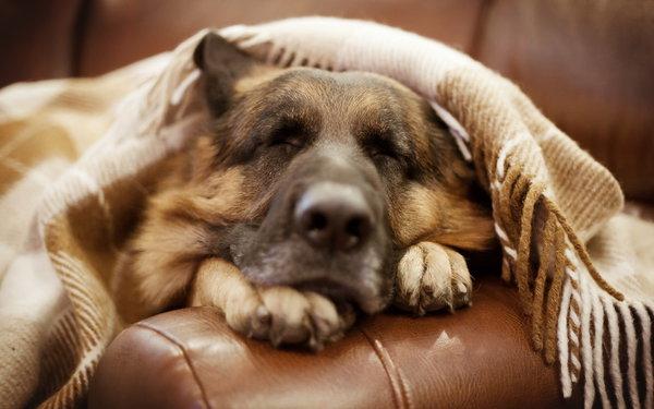 Страдаете бессонницей? Срочно нужна собака. Собака спит