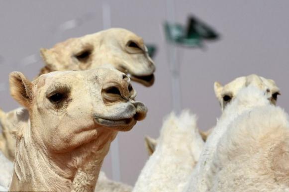 В Саудовской Аравии 12 верблюдов с ботоксом отстранили от конкурса красоты. Видео. В Саудовской Аравии 12 верблюдов с ботоксом отстранили от конкур