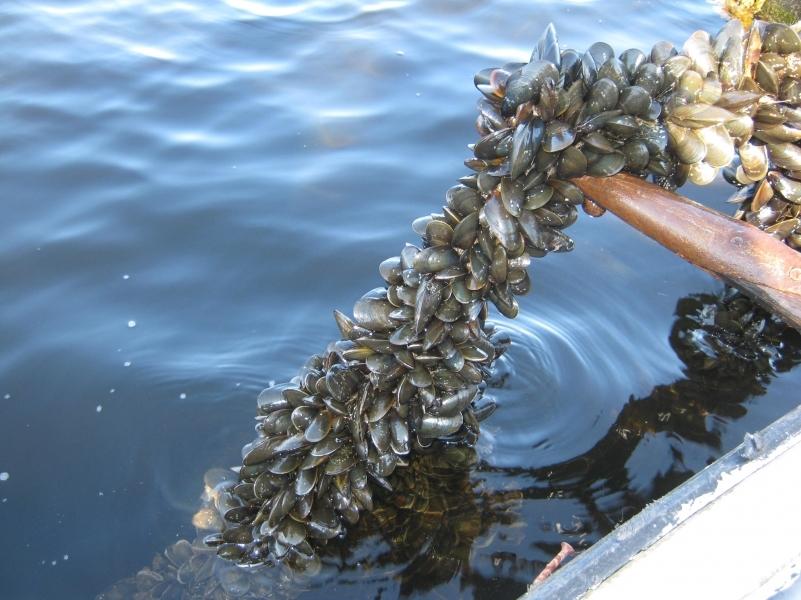 Еще один шаг к импортозамещению: школьник  научит разводить мидий в Белом море. 297196.jpeg