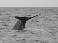 Самое большое в мире животное может вернуться к берегам Аляски