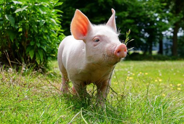 Интересные факты о свиньях. 394199.jpeg