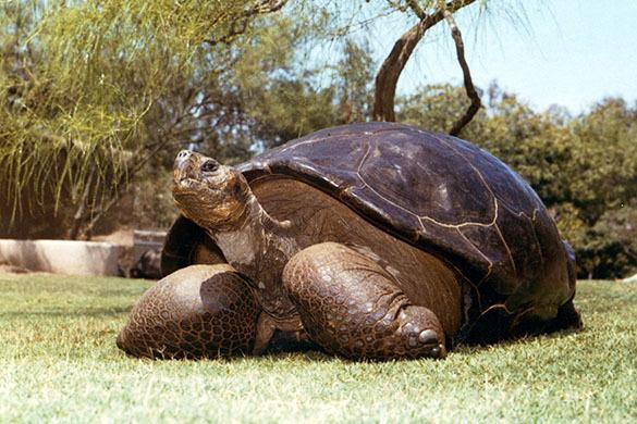 В зоопарке Сан-Диего усыпили 150-летнюю черепаху, страдавшую от артрита. Галапагосская черепаха