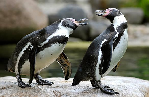 Московский зоопарк: Совокупления пингвинов и тюленей не допустим!. 304205.jpeg