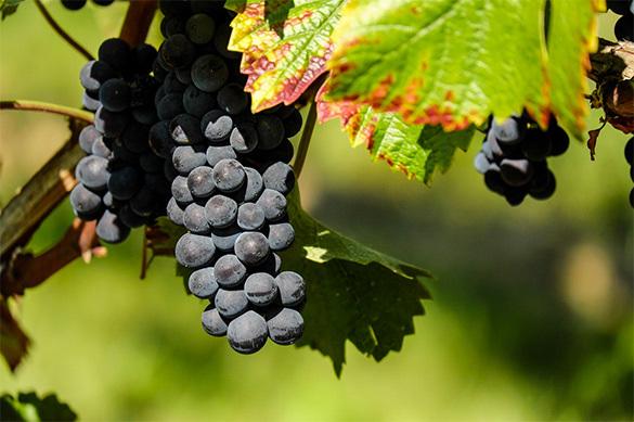 Массандра продаст лишний виноград в свежем виде