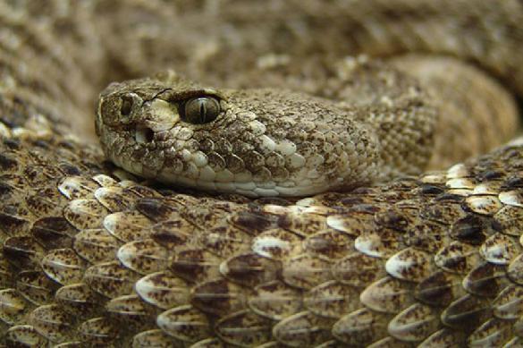 Своя атмосфера: нигерийцы съели змею, которая съела их козу. 391207.jpeg