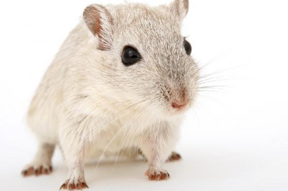 Самца мыши