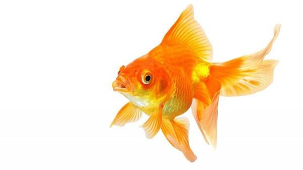 Виды золотых аквариумных рыбок, их особенности