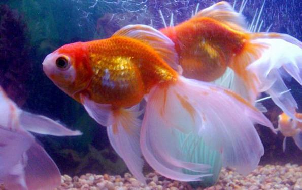 Золотая рыбка: виды аквариумных рыбок. 404209.jpeg