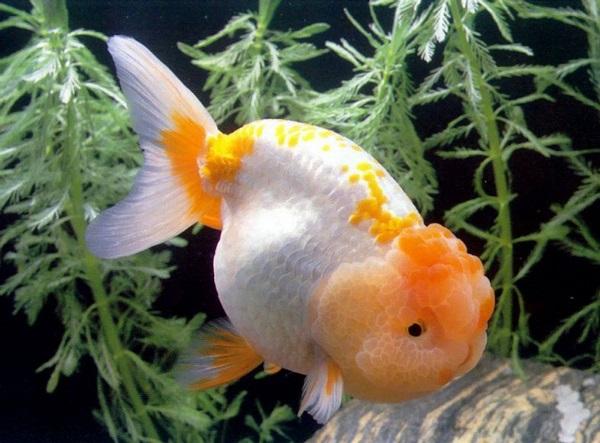 Золотая рыбка: виды аквариумных рыбок. 404210.jpeg